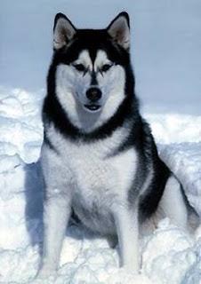 Perros-nordicos-Alaska-malamute