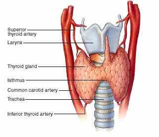 diagram of where thyroid gland is located juanribon  : thyroid gland diagram - findchart.co