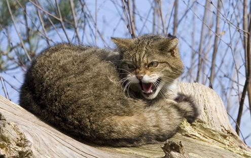 wild animal life wild cat 495x312
