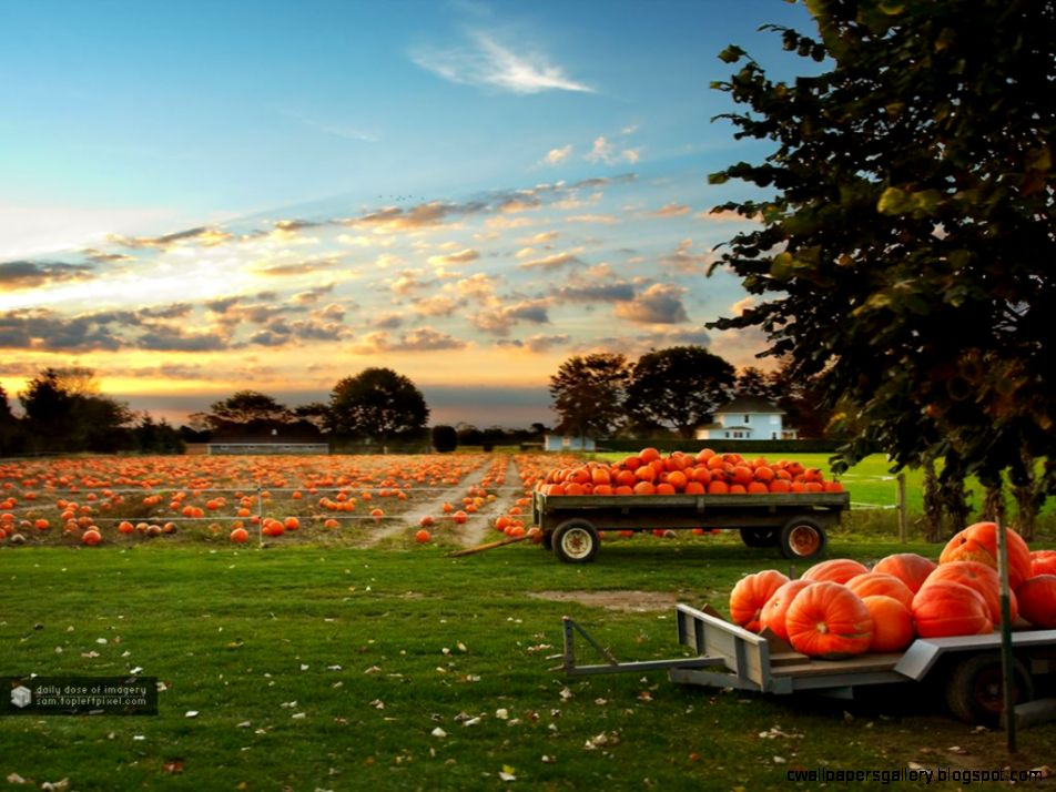 Fields Fall Pumpkins Autumn Pumpkin Patch Harvest Field Wallpaper