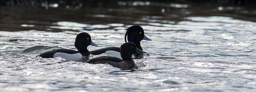 Tufted Duck group