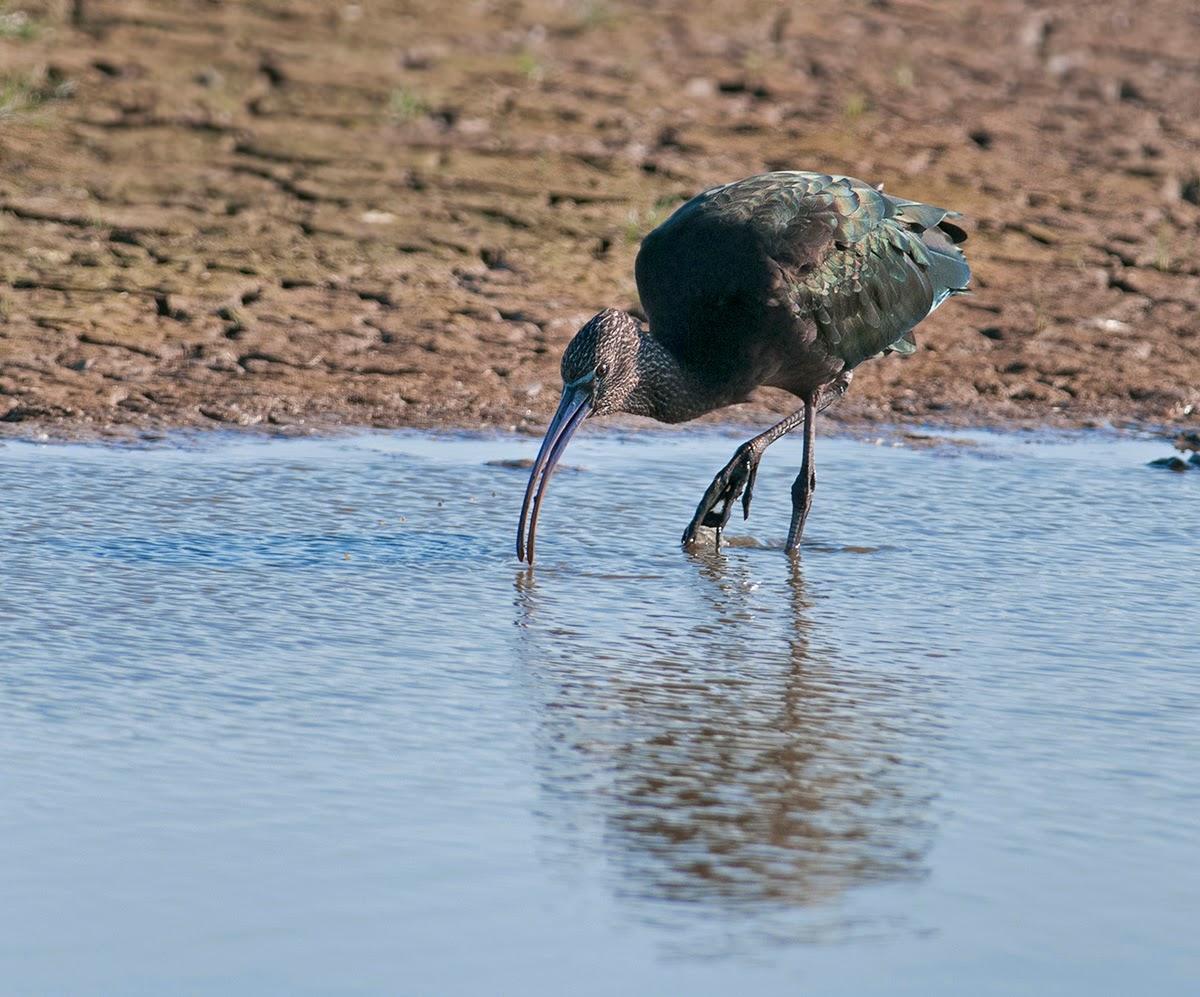Glossy ibis Plegadis falcinellus Frampton