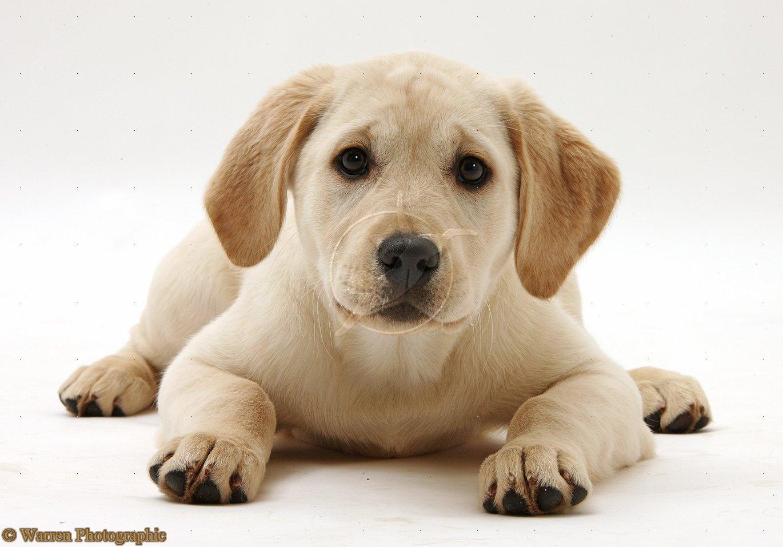 Cute Puppy Dogs: Yellow Labrador Retriever Puppies