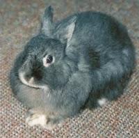 Jenis-jenis kelinci, Netherland Dwarf