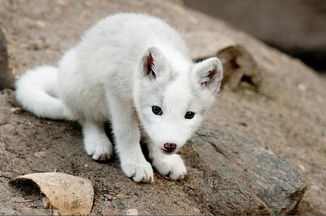 White Wolf : Photographer Takes Heart-Melting Photos Of ... - photo#39