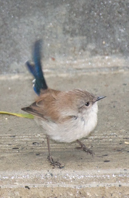 Superb Fairy-Wren (Malurus cyaneus)