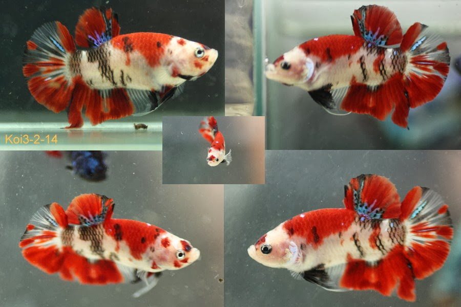 Bettazone betta of the week koi showa for Female koi fish