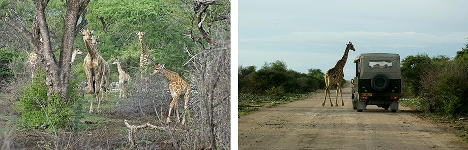 Ynas Reise Blog | Giraffen in der Etosha