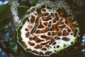 Obat Alternatif Untuk Tumor Payudara