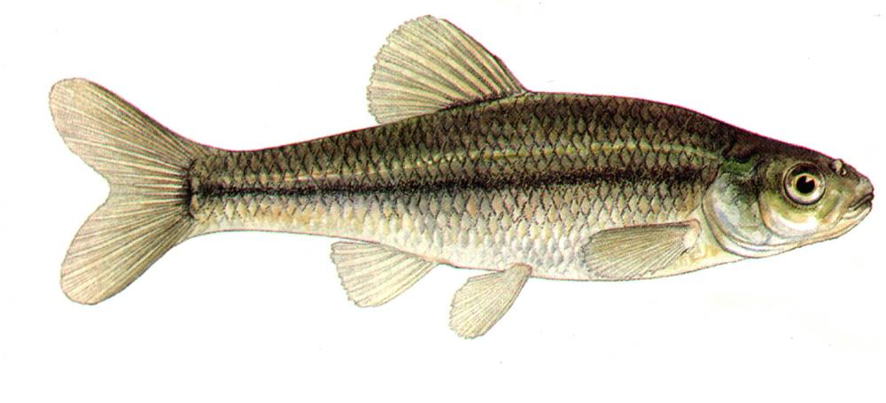 fathead minnow i wanted to snap a picture of my progress with the ...