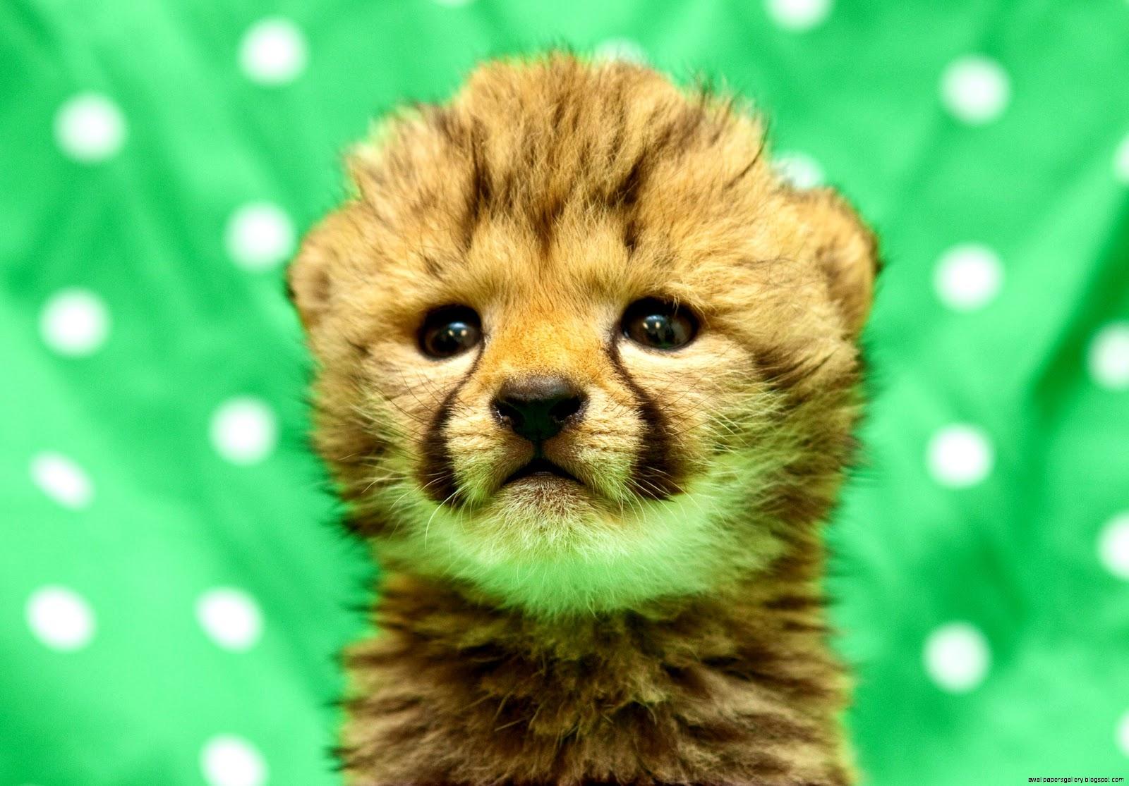 Baby Cheetah Wallpaper | Wallpapers Gallery