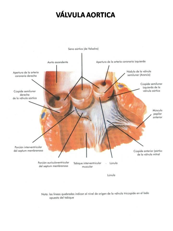 Asombroso Tee Anatomía De La Válvula Mitral Viñeta - Anatomía de Las ...