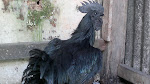 Cemani Pure Black