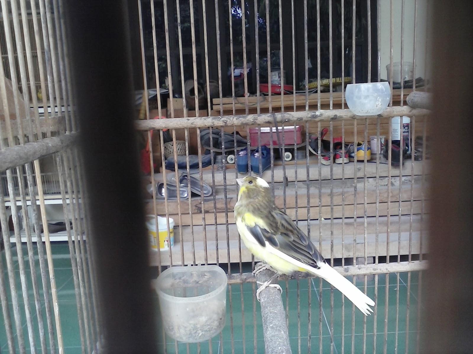 jual burung kenari