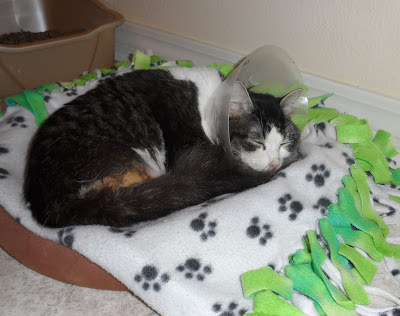 Anakin Two legged Cat after Neuter surgery complications
