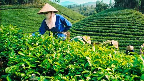 Lo que no sabías del té (parte 2)
