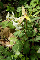 Dutchman&#39;s-breeches