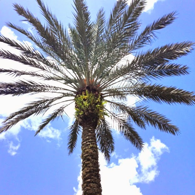 perfect palm, palm tree, florida