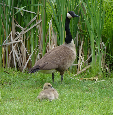 gander and a gosling