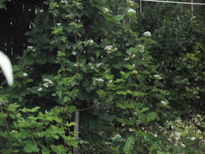 Blackberry Vines Tied to Pole, Forms Bush