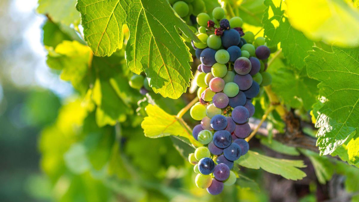 Veraison - the grapes are starting to ripen.