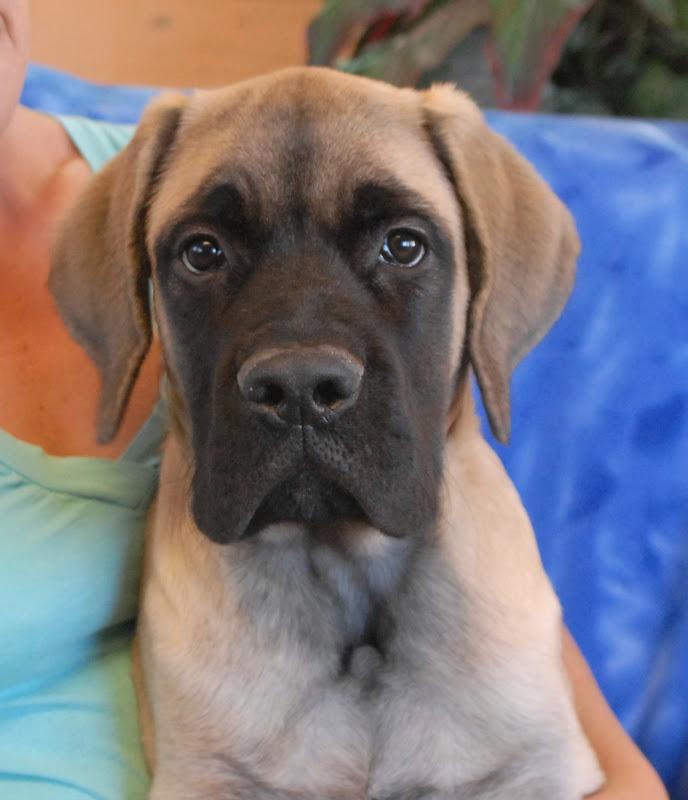 Rescue riggins a super cute english mastiff puppy for adoption