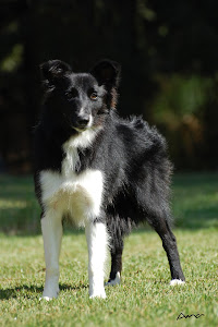 Fergie (Border Collie) - 1 ano