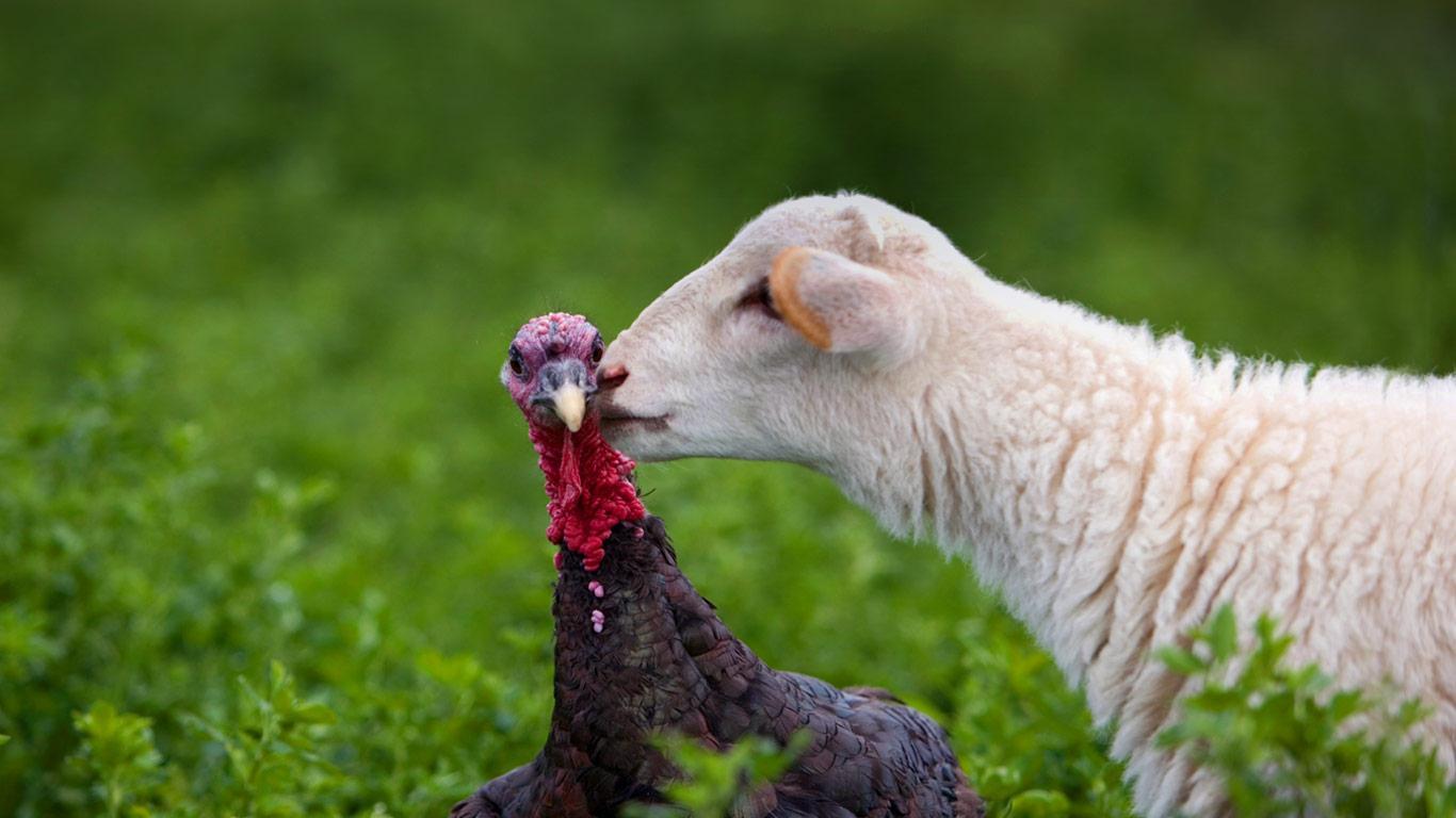 http://3.bp.blogspot.com/-iPXu5vQ_xcg/UK3j7yyu5QI/AAAAAAAAET8/uxkLbDBknLg/s1600/lamb_turkey_kiss_farm_Lindsborg_Kansas_20121122.jpg