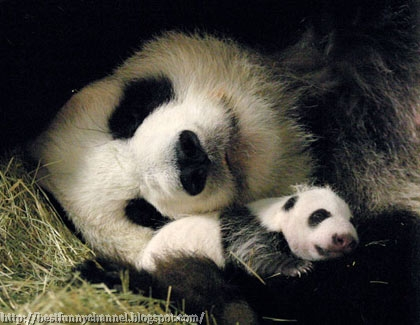 Panda and her baby.