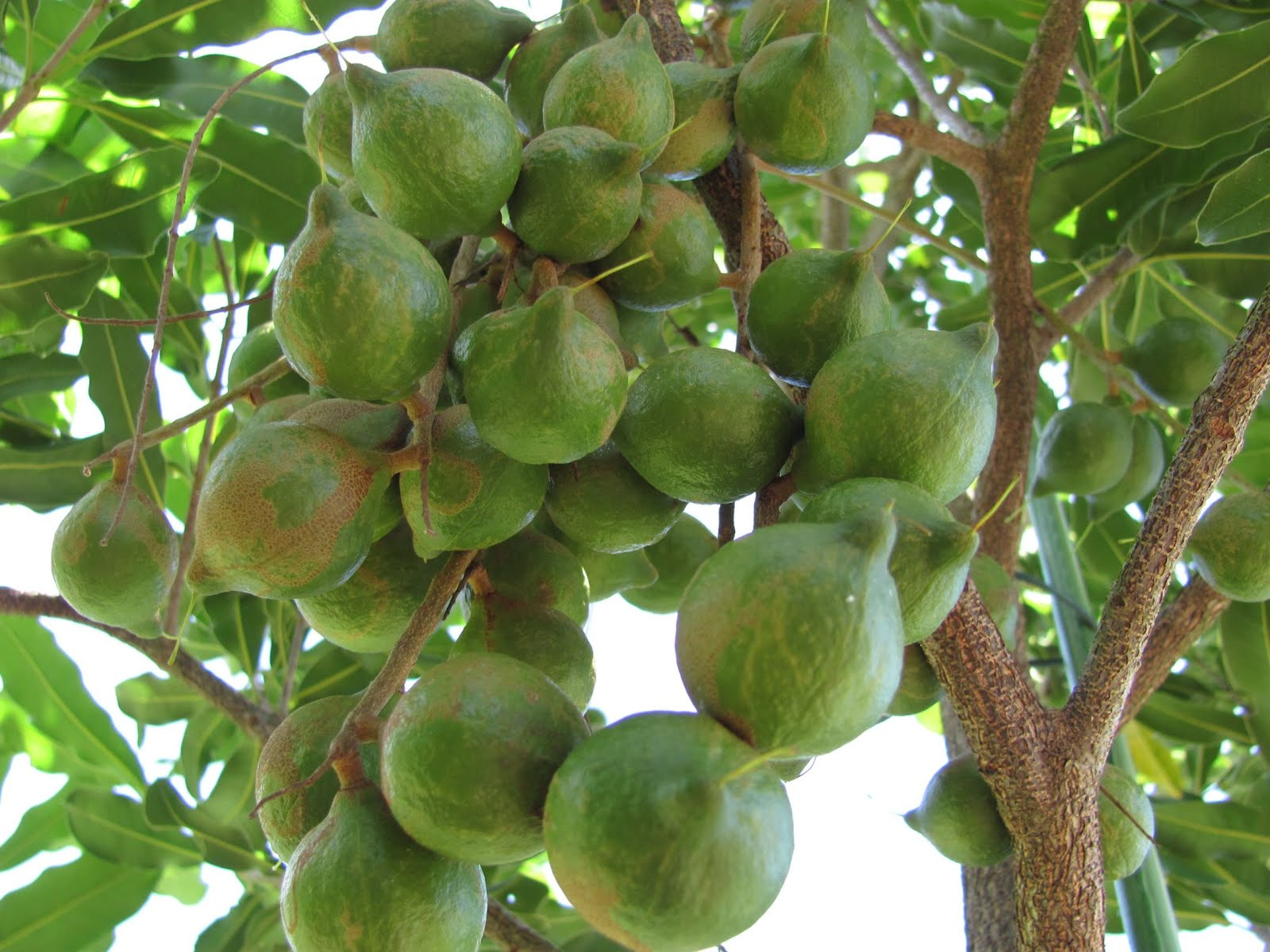 macadamia nuts tree