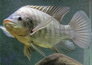 Tips dan Trik Budidaya Ikan | Cara Ternak Ikan Nila yang Baik