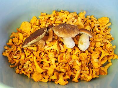 pieprznik jadalny - kurka Cantharellus cibarius, Cantharellus pallens pieprznik blady, pieprznik ametystowy Cantharellus amethysteus