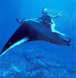Are manta rays dangerous yahoo dating