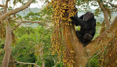 Studying chimpanzee fauna isotopes to learn about prehistoric food sources