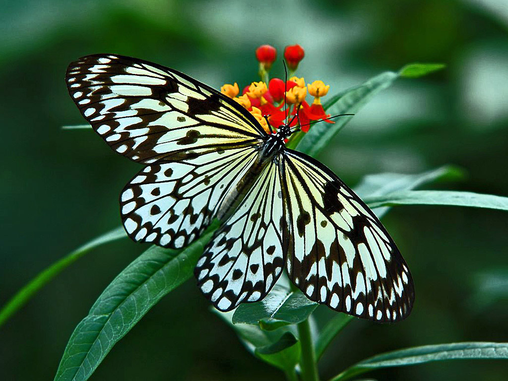 Hdwallpapers of butterflies wild life for Butterfly in a flower