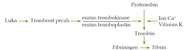 Komponen Penyusun Darah Manusia dan Fungsinya