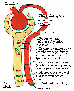 steps of urine formation