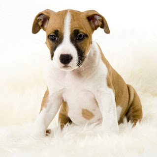 American Staffordshire Puppy Pictures
