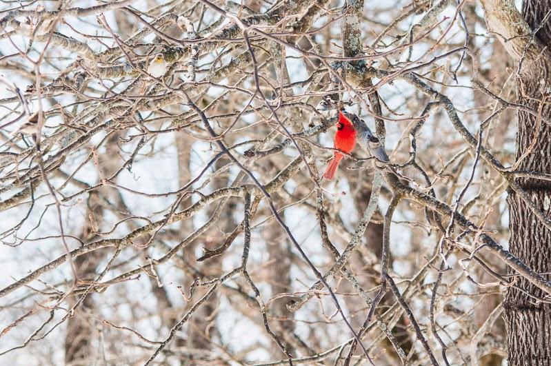 male cardinal in winter tree