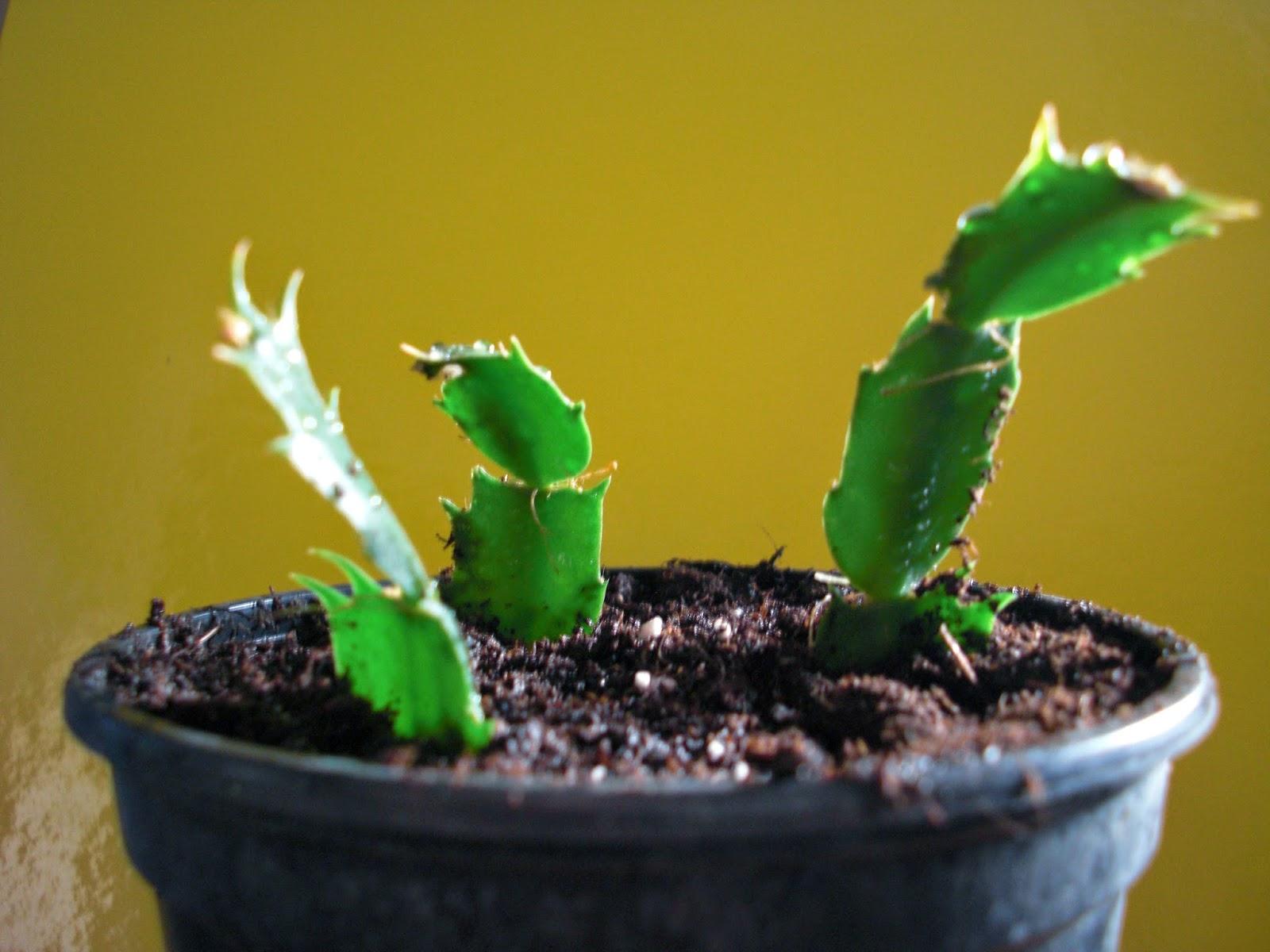 Plantas de interior - Propagação Schlumbergera