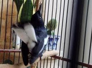 Burung Cendet Salto