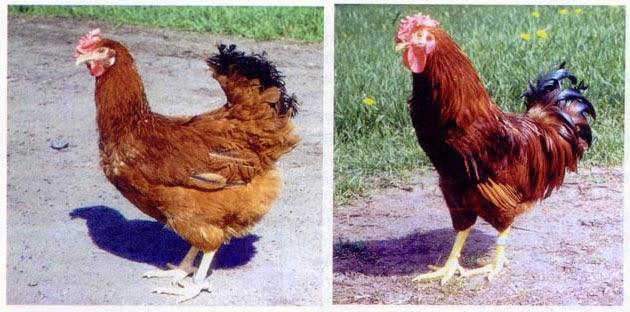 Петух и курица полтавской глинистой породы