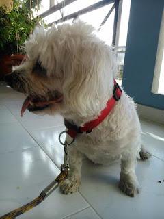 Βρέθηκε σκυλάκι αρσενικό Μαλτεζακι με κόκκινο λουράκι, φρεσκοκουρεμενο, στου Ζωγράφου.