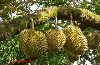 17 Cara Mudah Menanam Durian Agar Cepat Berbuah