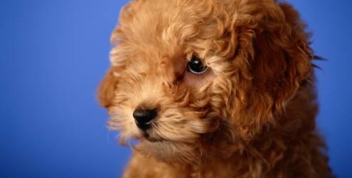 dog  Queda de cabelo em Cães
