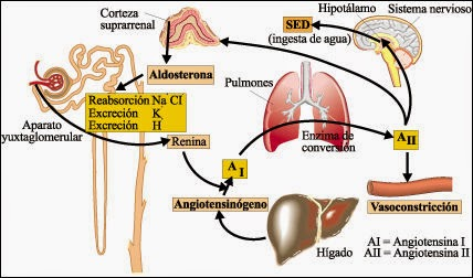 Hormonas y balance de agua