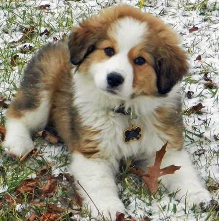 Top 3 Amazing Cute Pyrenees Puppies