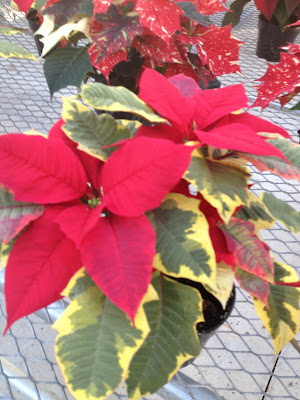 Variegated leaf poinsettia -- The Impatient Gardener