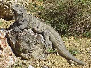 critically island iguana