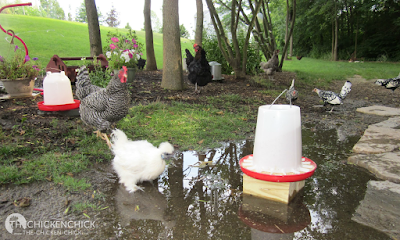Why Water is Critically Important to Chickens
